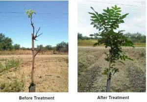 Young-Pecan-Trees-Pecan-Orchard-Pecan-Plantation