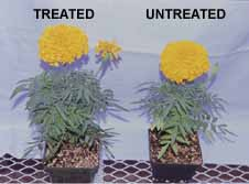 flowers-treated-untreated