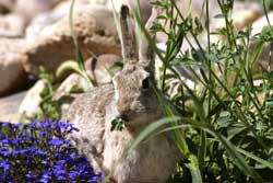 rabbit-eating-flowers